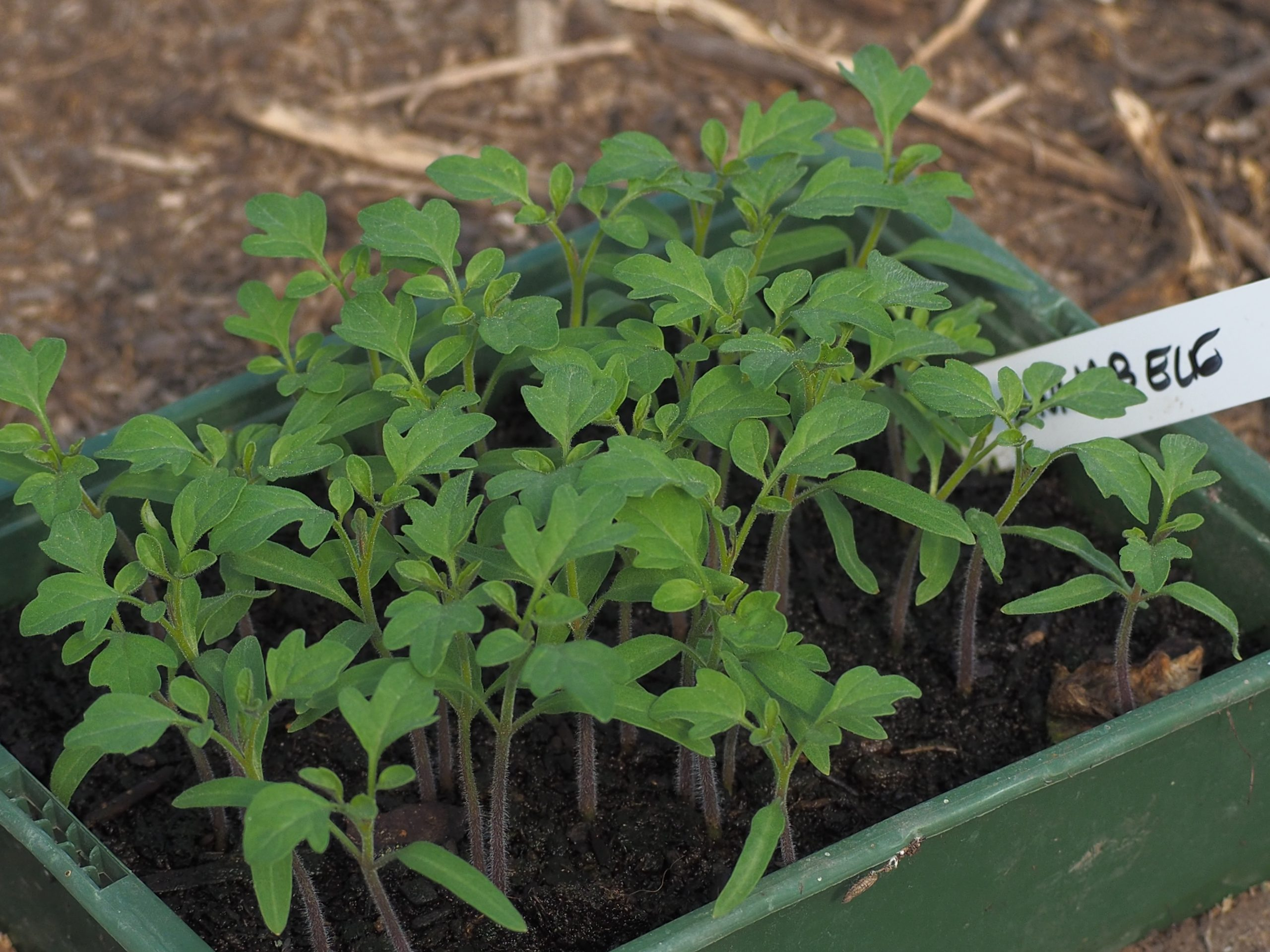 Gemüse & Jungpflanzen